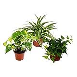 Rankpflanzen Set fürs Zimmer mit 3 Pflanzen - 9cm