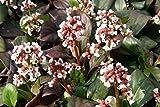 Bergenie, Bergenia cordifolia 'Bach' im 9cm Topf