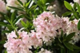 Rhododendron migranthum 'Bloombux'® INKARHO - Im 5 lt. Topf, Höhe ca. 30-40cm