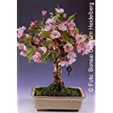 Tropica - Bonsai - Flores- y Cerezo ornamental (Prunus serulata) - 30 Semillas
