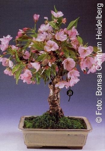 Tropica - Bonsaï Cerisier Ornemental (Prunus serulata) - 30 Graines