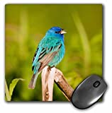 Danita Delimont - Birds - Indigo Bunting, Passerina cyanea, male singing, Marion, Illinois, USA. - MousePad (mp_209200_1)