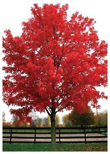 TROPICA - Acero rosso (Acer rubrum) - 20 Semi- Magic tropical