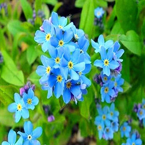 Gartenblumen, mehrjährige Pflanzen, Woodland Myosotis Sylvatica Forget me not Samen, gemischte Farben, 50 Samen pro Packung
