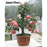 Graines Trial Bonsai produit Pommier 30 Seeds Pcs d'Apple (Utilisé Wet Sable Germination) Fruit Bonsai Jardin En Pots de fleurs Planters