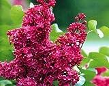 Portal Cool Rote japanische Flieder Seeds (Extremely Fragrant) Nelke Blume Diy Garten 100 Stück