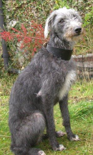 finest. Hound collari per cani in pelle morbida. Ideale per Whippets, Lurchers & Greyhounds. Greyhound 50,8cm, tinta unita. Nero
