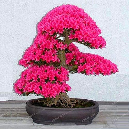 sanhoc 100 pz crape mirto - lagerstroemia indica 'natchez' perenne fiore bonsai cortile myrtle fiori giardino della casa vaso da fiori