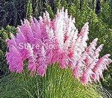 100 colori misti Erba di pampa Semi Cortaderia selloana fa un punto focale notevole in un giardino in rapida crescita Erba ornamentale
