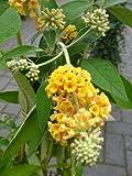 gelbbühender Schmetterlingsstrauch Buddleja Sungold 40 - 60 cm im 3 Liter Pflanzcontaier