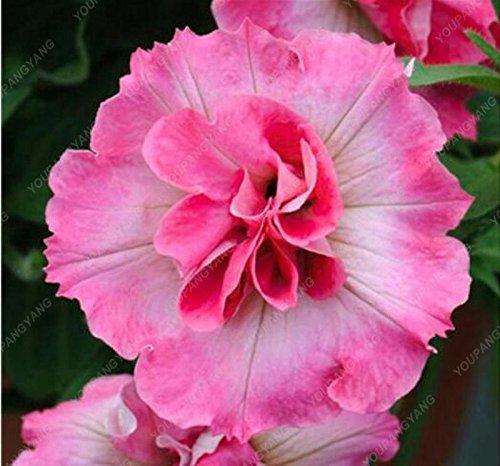 200 PCS Promotion! Balcon Rare Rillettes colorés Pétunia Graines de fleurs rares plantes à fleurs pour le bricolage jardin Rouge