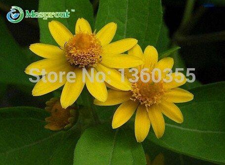 graines chrysanthème, pot graines de fleurs médaillon fleur, petit chrysanthème jaune, environ 20 particules