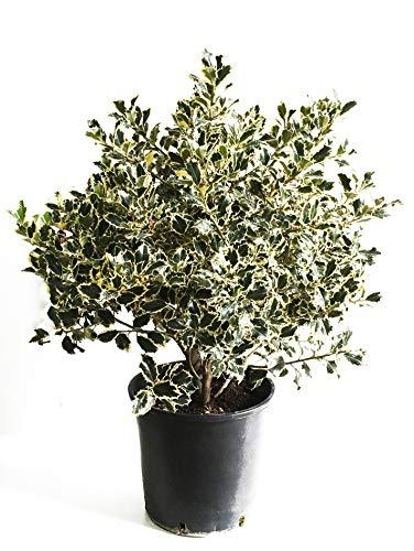 pianta da esterno ornamentale agrifoglio natalizio - ilex aquifolium - Ø 24 cm - h 80 cm