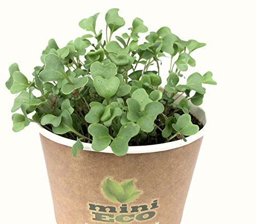 minieco broccolo micro verdure semi per germogli. circa 2400 semi, 8g. kit coltivazione erbe aromatiche. 100% bio organico. sementi i germogli non ogm microgreens micro greens broccoli