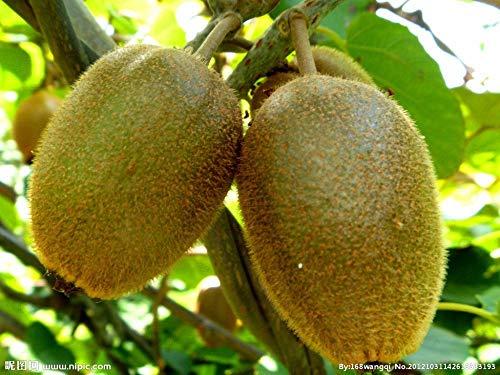 Tailandia mini fruta kiwi 1seeds / porción 100 semillas