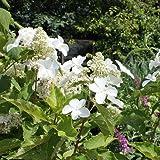 Rispenhortensie 'Levana' ® - Hydrangea paniculata 'Levana' ® - Blütengehölz