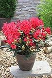 annas-garten Rhododendron