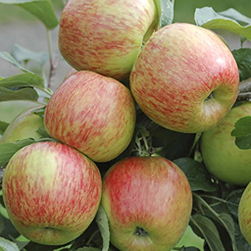 braeburn-apple-patio-fruit-tree-bare-root-12m-tall