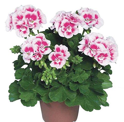 Deux couleurs Rouge Blanc univalve Géranium Graines Graines de fleurs vivaces Pelargonium peltatum Semences pour 100 graines Pièces d'intérieur / Sac 1