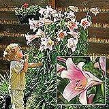 Army Green: Vente Hot 200Pcs Lily Graines Lily Fleur (Non Lily bulbes) Lilium Graines de Fleurs Faint Parfum Bonsai Plante en Pot pour Jardin Plantes Vertes...