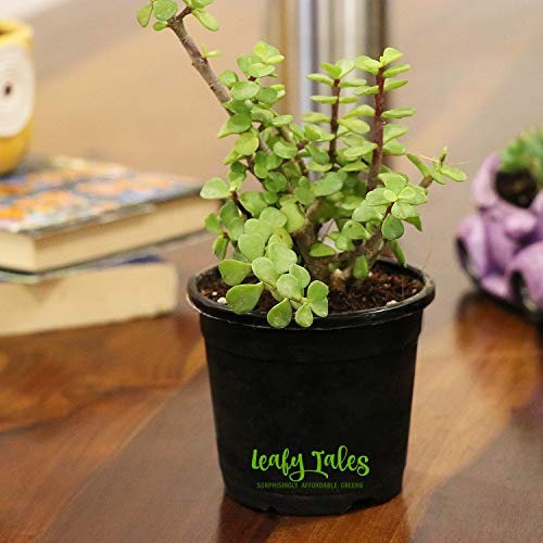 Leafy Tales Good Luck Button Jade (Crassula) in Black Plastic Pot I Low Maintenance, Lucky Plant for Home I Women's Day Gift I Holi Special|