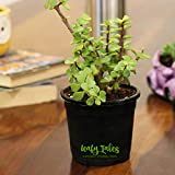 Leafy Tales Jade Good Luck Live Plant in Black Plastic Pot (Button Jade)   Feng Shui Indoor Plant…