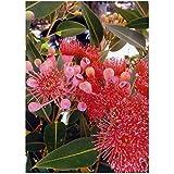 TROPICA - Eucalipto (ficifolia) (Eucalyptus ficifolia) - 15 Semillas