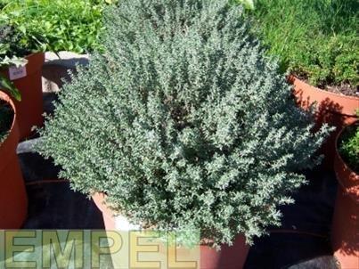 Thymian Fleur de Provence Kräuter Pflanze 12er Topf