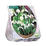 25 Stück Schneeglöckchen Galanthus Woronowii Blumenzwiebeln -