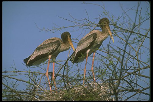 289034 Painted Storks In Nest A4 Photo Poster Print 10x8