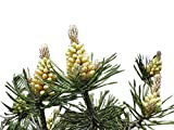 1.000 Samen -Waldkiefer- (Pinus sylvestris) (Winterhart) auch Gemeine Kiefer, Rotföhre, Weißkiefer oder Forche genanntgenannt !