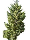 Riesen Fichte - Kaukasus-Fichte -Picea orientalis- 50 Samen
