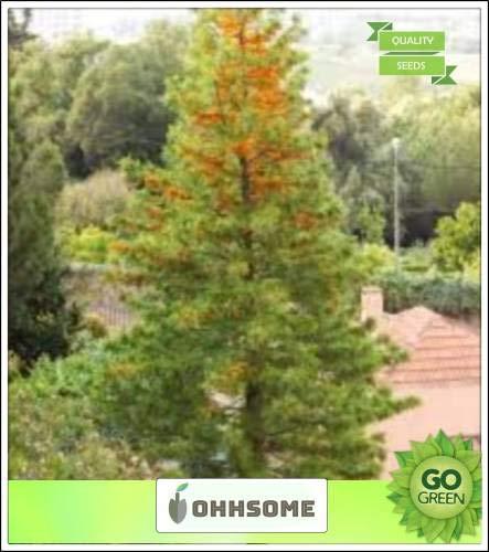 Pinkdose Australian Silver Oak schnell wachsenden immergrüne Baum Veränderte Laub Samen Küche Garten Samen Packung Saatgut