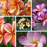 DIY Hausgarten Pflanze 100Seeds Mix-Color Echt Frische Plumeria Rubra Frangipani Lilavadee Blumenbaumsamen