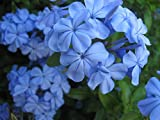#7: Nema Oxalis Wood Sorrel Flower Seeds - Sea Blue - 120 Pcs