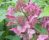 Rispenhortensien Wim`s Red® - Hydrangea paniculata Wim´s Red® - duftend