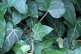 30 Efeu Stecklinge Bodendecker, Garten