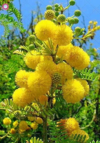 Pinkdose 50PCS pianta rara di colore oro Mimosa Bella Acacia Baileyana Wattle albero bonsai del fiore del giardino pianta aromatica: 5