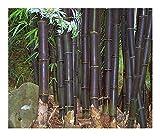 Bambusa lako - schwarzer Bambus - 10 Samen
