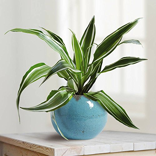 Dracaena Fragrans White Stripe - 1 plante