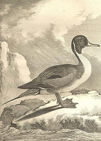 """COMTE de BUFFON, Georges Louis Leclerc. """" LE CANARD À LONGUE QUEUE """" Histoire Naturelle des Oiseaux 1770 - 1783 - Sur Format A3 Papiers Brillants de 250g. Affiches de Reproduction"""