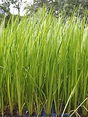 Wasserpflanzen Wolff - Acorus calamus - Kalmus von Wasserpflanzen Wolff bei Du und dein Garten