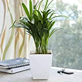 Ugaoo Areca Palm Air Purifier Natural Live Plant