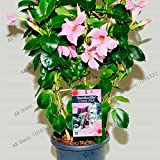 Pinkdose 100pcs / bag Mandevilla sanderi (Dipladenia sanderi) flores, balcone in vaso, plantas Bonsai Fiore Pianta in vaso per la casa Giardino: 2