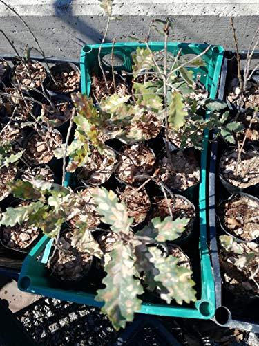 4 piante roverella micorizzate con tartufo scorzone nero estivo (tuber aestivum vitt.)