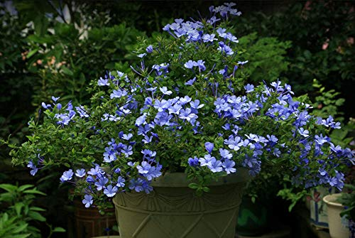50pcs Semillas Flores Azules Trepadoras Plumbago