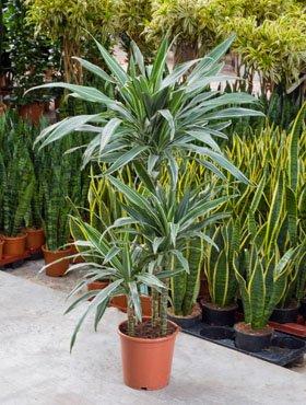Drachenbaum, Dracaena deremensis, ca. 120 cm, große Zimmerpflanze, 21 cm Topf