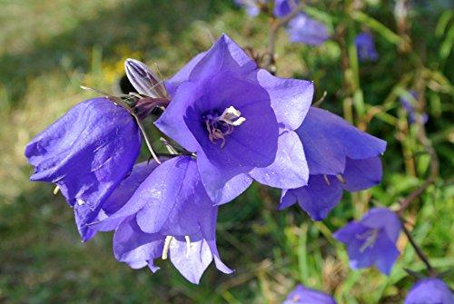 100 Graines Fleurs de Campanule À Grosse Fleur Double Variée