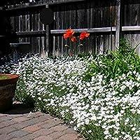 PlenTree 1000 Semillas de la Nieve en Verano - Cerastium tomentosum