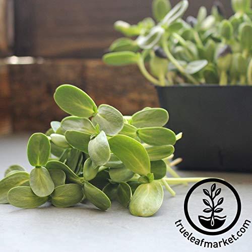 Graines de tournesol Bio en Huile de Shell-Noir-germination, Microgreens-Soleil Fleur